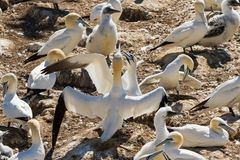 Northern gannet colony on a close up picture royalty free stock photography