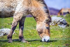 Close-up of a beautiful Przewalski`s Horse - the rare Mongolian horse grazing royalty free stock photos