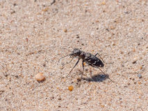 Rare endangered scarce Heath Tiger Beetle Stock Images