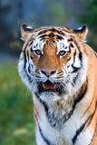 A rare endangered Siberian Tiger resting. Stock Photos