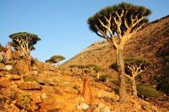 Rare endemic dragon trees , bottle trees Stock Images