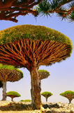 Rare endemic dragon trees. Large endemic amazing dragon trees. Island  Socotra.  Sunny bright day at the exotic land Royalty Free Stock Photo