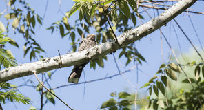 The Rare, Endemic Usambara Nightjar Caprimulgus poliocephalus. Guttifer at a Day Roost in Western Tanzania royalty free stock image