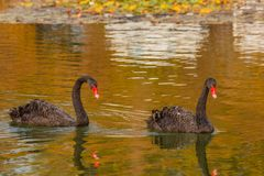 A rare exemplary of black swan exsisting in Italy. It is a water selvatic bird with black plumage and a red beak with a white tip Royalty Free Stock Photography