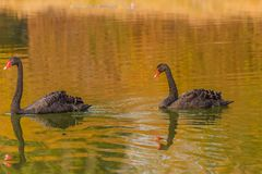 A rare exemplary of black swan exsisting in Italy Stock Photo