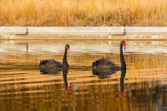 A rare exemplary of black swan exsisting in Italy. It is a water selvatic bird with black plumage and a red beak with a white tip Stock Photography