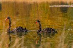 A rare exemplary of black swan exsisting in Italy. It is a water selvatic bird with black plumage and a red beak with a white tip Stock Image