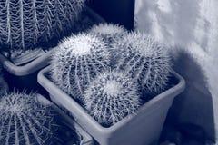 Rare exotic cactus stock image