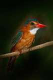 Rare exotic kingfishers from Sulawesi, Indonesia. Blue-headed Kingfisher, Actenoides monachus, sitting on branch in the green trop Stock Photography
