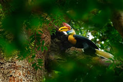Rare exotic Knobbed Hornbill, Rhyticeros cassidix, from Sulawesi, Indonesia. Bird in the nest, sitting on the branch in the green Royalty Free Stock Image