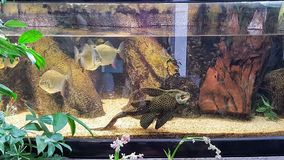 A rare fish in a fishtank. Many common fishes swimming with a rare fish in a fishtank stock image