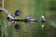 Rare Florida Terrapin. A dangerous Florida Terrapin sitting on a log in a duck pond in the Clot de Galvany natural park in Gran alacant Spain Stock Image
