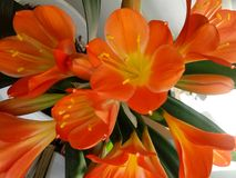 Rare - flowering clivia close-up. Flowers. Orange color. Green leaves. Flower pot. Home farming Royalty Free Stock Photography