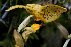 Orchid like from Mars. Rare flowering orchid Stanhopea deltoidea Stock Photo