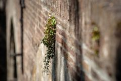 Free Rare Flowering Wall Plants On Old Masonry Brick Wall Stock Images - 121065304