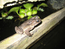 Rare frog at night Royalty Free Stock Photos
