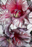 Rare gladioluses bud. Rare colors gladioluses petals closeup Stock Photo