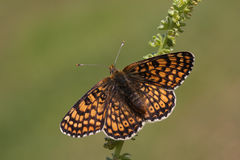 A rare Glanville Fritillary Butterfly Melitaea cinxia found on mainland Britain. Stock Images