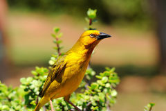Rare golden weaver. Photo taken in Addo national elephant park,South Africa Stock Image