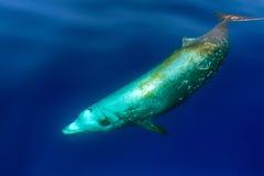 Rare Goose Beaked whale dolphin Ziphius cavirostris underwater. Goose Beaked whale dolphin Ziphius cavirostris ultra rare white underwater stock photo