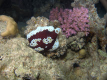 Rare Grand Pleurobranch Red Sea Royalty Free Stock Image