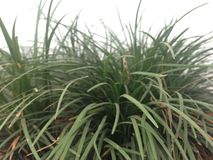 Rare grasses royalty free stock images