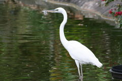 Great White Heron Ardea herodias Stock Image