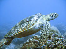 Rare green sea turtle Stock Photo
