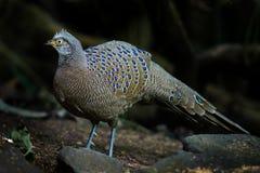 Rare Grey Peacock-Pheasant(Polyplectron bicalcaratum) Stock Photo