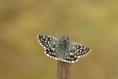 A rare Grizzled Skipper Butterfly Pyrgus malvae perched on a stick with its wings open. Stock Photo