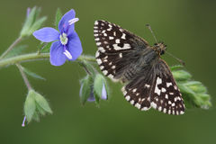 A rare Grizzled Skipper Butterfly (Pyrgus malvae)  perched on the Common Field-speedwell (Veronica persica,). Royalty Free Stock Photography