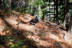 Rare grouse black-cock. Rare meeting with a grouse black-cock in the woods Stock Photos