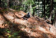 Rare grouse black-cock Stock Photos