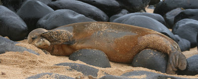 Rare Hawaiian Monk Seal. Monk seal peaks out from one flipper Royalty Free Stock Images
