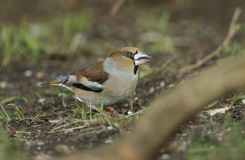 A stunning rare Hawfinch Coccothraustes coccothraustes feeding in the shade on the forest floor. A rare Hawfinch Coccothraustes coccothraustes feeding in the stock photography