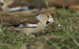 A stunning rare Hawfinch Coccothraustes coccothraustes feeding in the shade on the forest floor. A rare Hawfinch Coccothraustes coccothraustes feeding in the stock image