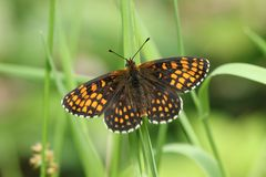A beautiful rare Heath Fritillary Butterfly Melitaea athalia perching on a blade of grass in woodland. royalty free stock photos