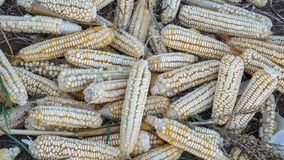 Rare Heirloom White Dent Corn royalty free stock photos