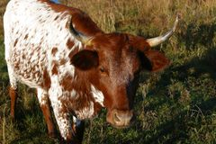 Pineywoods Cattle Heifer. Rare heritage breed Pinewoods cattle red and white heifer grazing in pasture royalty free stock photos