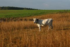 Pineywoods Cattle Bull. Rare heritage breed Pinewoods cattle spotted bull grazing in pasture stock images