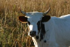 Pineywoods Cattle White Spotted Heifer. Rare heritage breed Pinewoods cattle spotted heifer grazing in pasture royalty free stock image