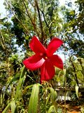 Rare Hibiscus stock photography