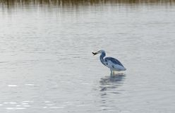Hybrid Tricoloured Heron x Snowy Egret Catching a Fish 09 Royalty Free Stock Image