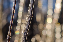 Rare ice storm in Ontario creates beautiful winter scene. Branches covered in sparkling ice after an ice storm Stock Image