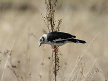 Rare image of white crested helmet shrike Royalty Free Stock Images