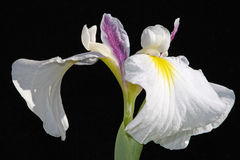 Rare iris flower Royalty Free Stock Photo