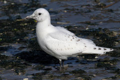 Rare Ivory Gull (Pagophila eburnea) Stock Photo