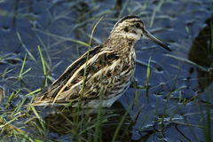 A rare Jack Snipe (Lymnocryptes minimus). A rare Jack Snipe (Lymnocryptes minimus) hiding in the vegetation Royalty Free Stock Images