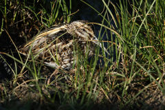 A rare Jack Snipe (Lymnocryptes minimus) resting in the marshland. Stock Photo