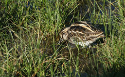 A rare Jack Snipe (Lymnocryptes minimus) feeding in the marshland. Stock Images